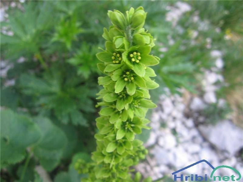 Lobelova zelena čmerika (Veratrum album subsp. lobelianum) - PictureLobelova zelena čmerika (Veratrum album subsp. lobelianum)