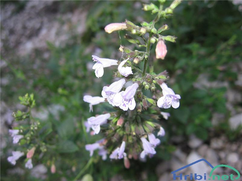 Navadni čober (Calamintha menthifolia) - PictureNavadni čober (Calamintha menthifolia)