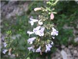 Calamintha menthifolia