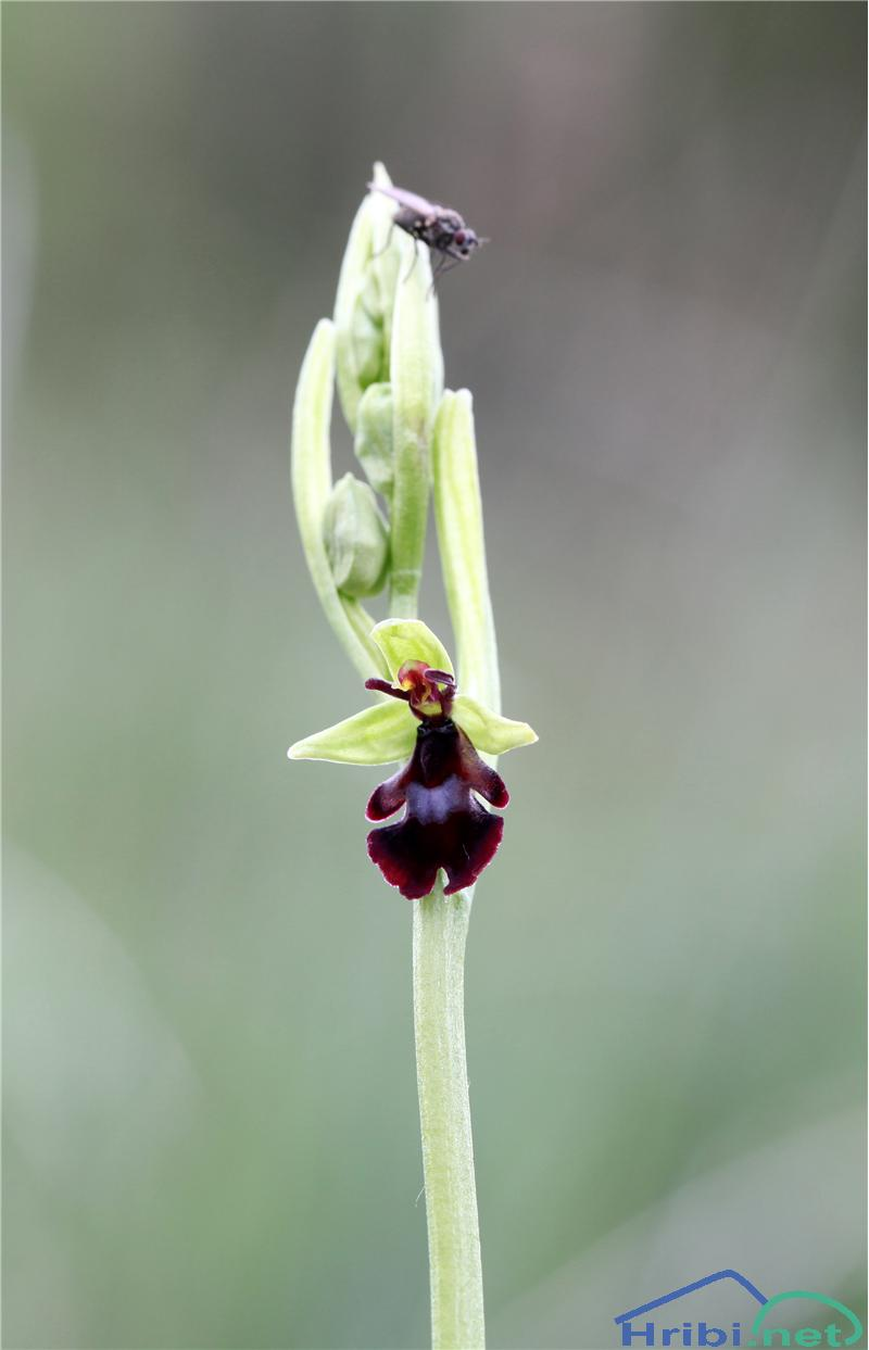 Muholiko mačje uho (Ophrys insectifera) - SlikaMuholiko mačje uho (Ophrys insectifera), foto B.C.