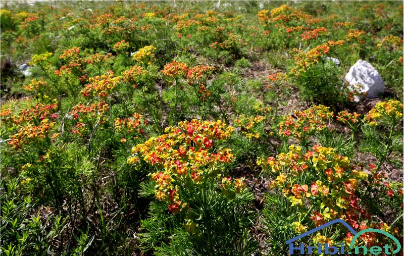 Cipresasti mleček (Euphorbia cyparissias) - SlikaCipresasti mleček (Euphorbia cyparissias), foto B.C.