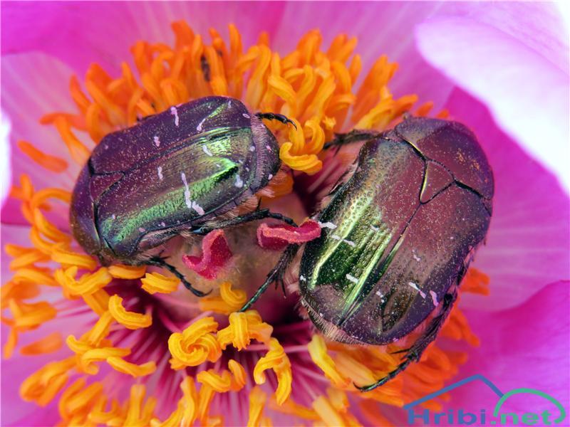 Navadna potonika (Paeonia officinalis) - SlikaNavadna potonika (Paeonia officinalis), foto B.C.