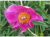 Navadna potonika (Paeonia officinalis)
