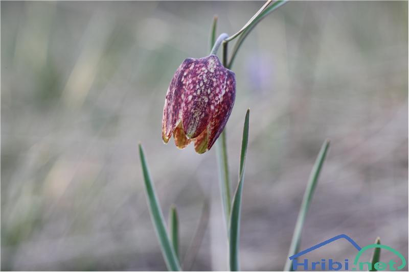 Gorska logarica (Fritillaria orientalis) - SlikaGorska logarica (Fritillaria orientalis), foto B.C.