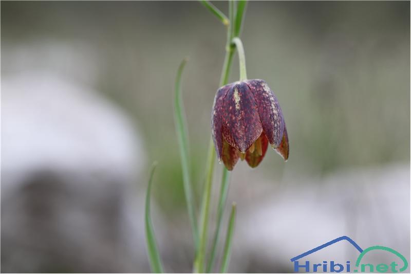 Gorska logarica (Fritillaria orientalis) - PictureGorska logarica (Fritillaria orientalis), foto B.C.