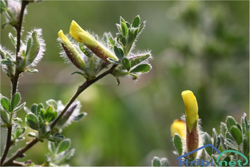 Dlakava relika (Chamaecytisus hirsutus) - PictureDlakava relika (Chamaecytisus hirsutus), foto B.C.