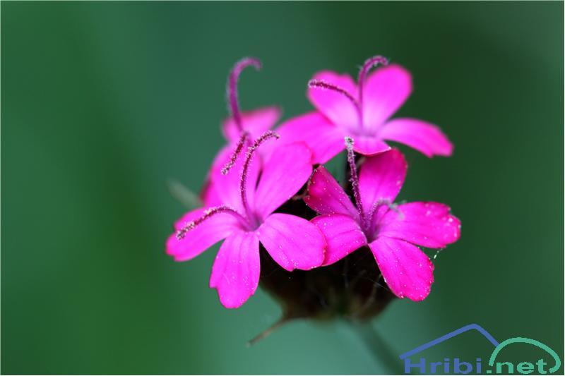 Krvavordeči klinček (Dianthus sanguineus) - PictureKrvavordeči klinček (Dianthus sanguineus), foto B.C.