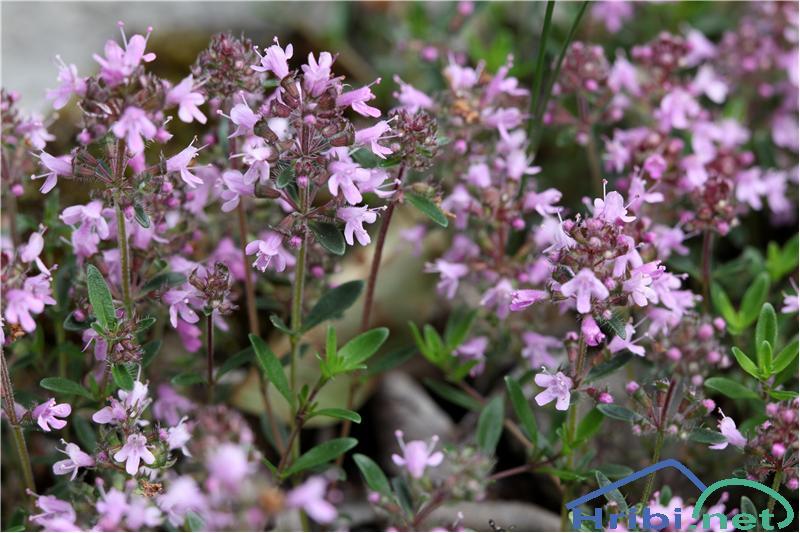 Divji timijan ali materina dušica (Thymus serpyllum) - SlikaDivji timijan ali materina dušica (Thymus serpyllum), foto B.C.