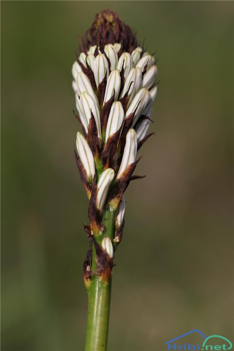Navadni zlati koren (Asphodelus albus) - SlikaZlati koren (Asphodelus albus), foto B.C.