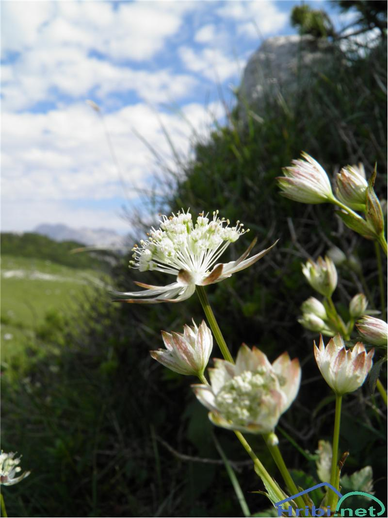 Veliki zali kobulček (Astrantia major) - Picture Veliki zali kobulček (Astrantia major), foto Otiv.