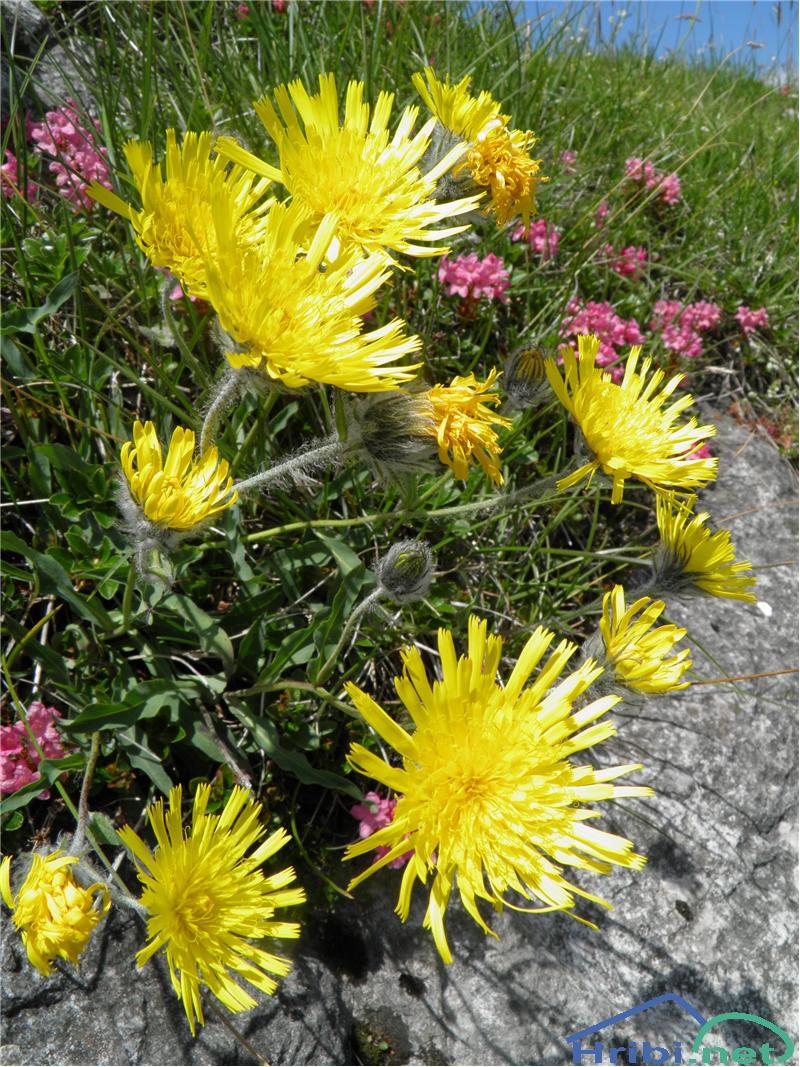 Kosmata škržolica (Hieracium villosum) - PictureKosmata škržolica (Hieracium villosum), foto Otiv.