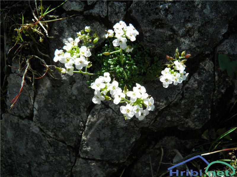 Alpska krešica (Pritzelago alpina) - PictureAlpska krešica (Pritzelago alpina), foto Otiv.