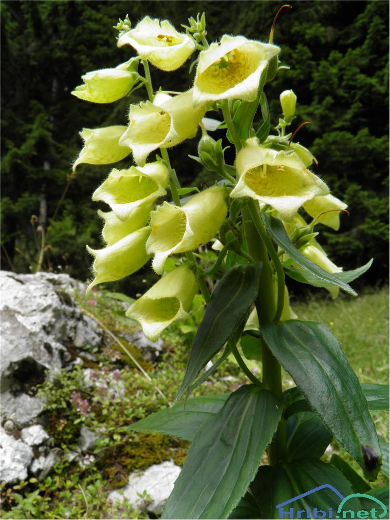 Velecvetni naprstec (Digitalis grandiflora) - SlikaVelecvetni naprstec (Digitalis grandiflora), foto Otiv.