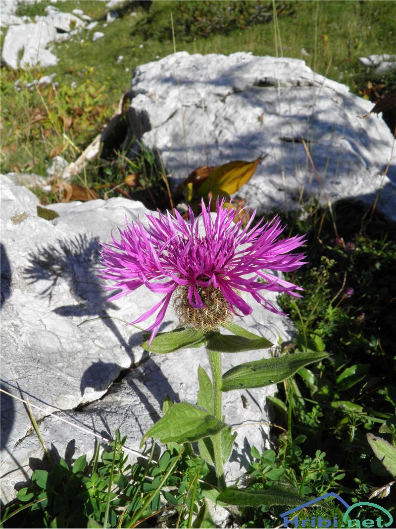 Lasuljasti glavinec (Centaurea phrygia ssp. pseudophrygia) - PictureLasuljasti glavinec (Centaurea phrygia ssp. pseudophrygia), foto Otiv.