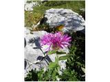 Centaurea phrygia ssp. pseudophrygia