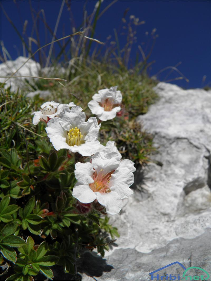 Clusijev petoprstnik (Potentilla clusiana) - PictureClusijev petoprstnik (Potentilla clusiana), foto Otiv.