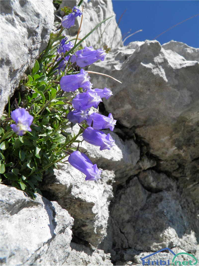 Zoisova zvončica (Campanula zoysii) - PictureZoisova zvončica (Campanula zoysii), foto Otiv.