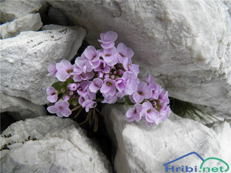 Okroglolistni mošnjak (Thlaspi cepaeifolium) - PictureOkroglolistni mošnjak (Thlaspi cepaeifolium), foto Otiv.