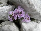 Thlaspi cepaeifolium