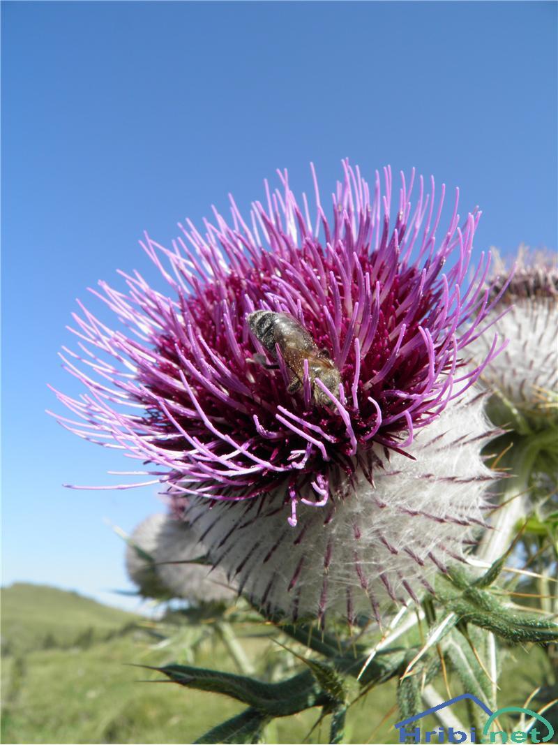 Volnatoglavi osat (Cirsium eriophorum) - SlikaVolnatoglavi osat (Cirsium eriophorum), foto Otiv.