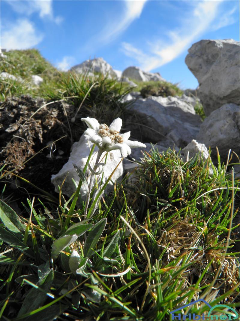 Planika ali očnica (Leontopodium alpinum) - PicturePlanika ali očnica (Leontopodium alpinum), foto Otiv.