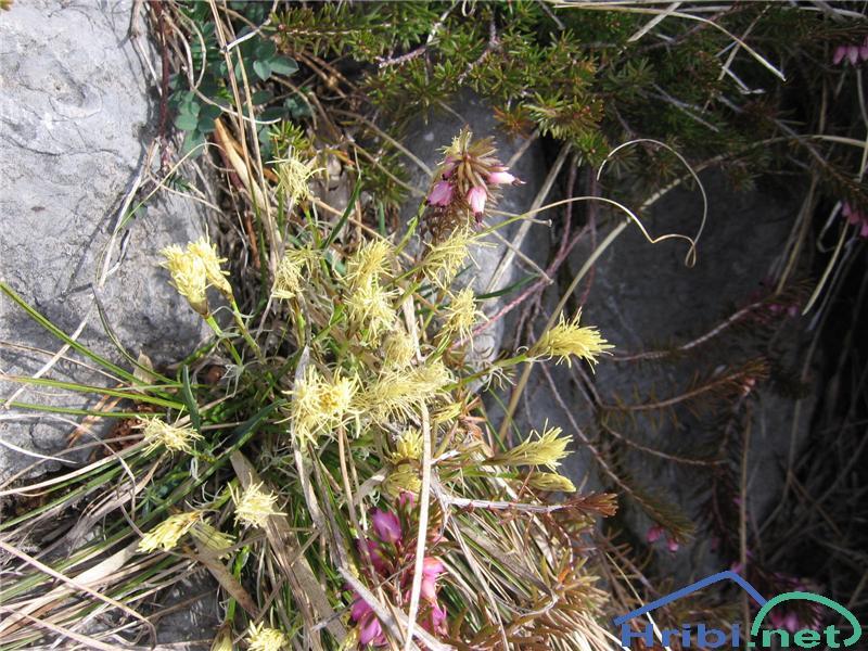 Gorski šaš (Carex montana) - PictureGorski šaš (Carex montana)