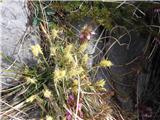 Gorski šaš (Carex montana)