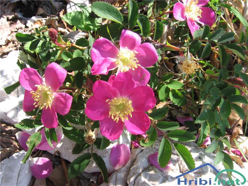 Alpski šipek (Rosa pendulina) - PictureAlpski šipek (Rosa pendulina)