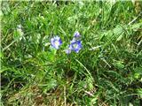 Alpine flax (Linum julicum)
