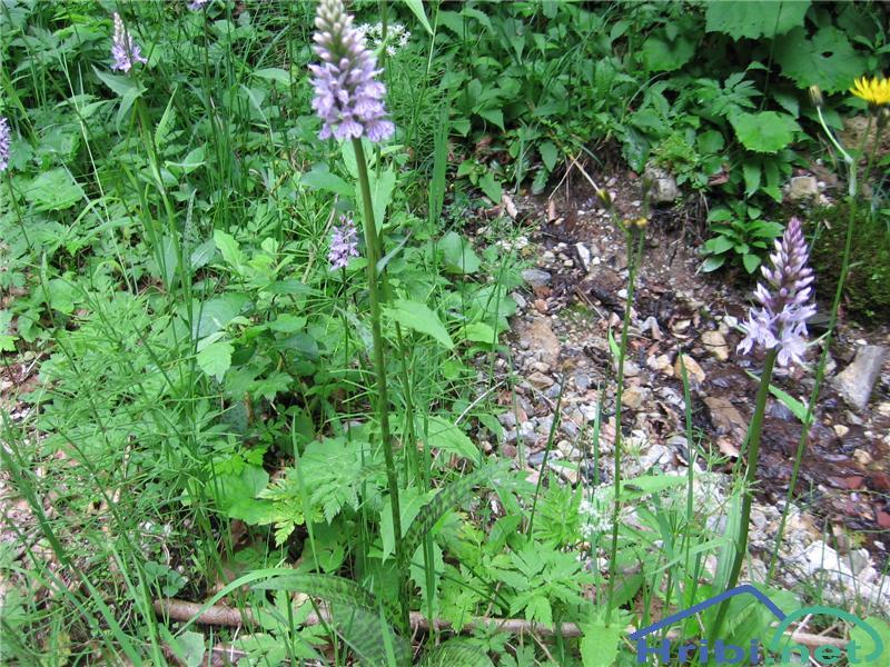 Pegasta prstasta kukavica (Dactylorhiza maculata) - PicturePegasta prstasta kukavica (Dactylorhiza maculata)