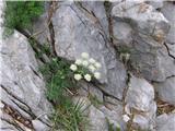 Alpska Jelenka (Athamata Cretensis)