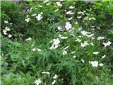 Katera rožca je to?Pod kočo na Zelenici so se bele zlatice čisto razcvetele. Platanolistna zlatica.