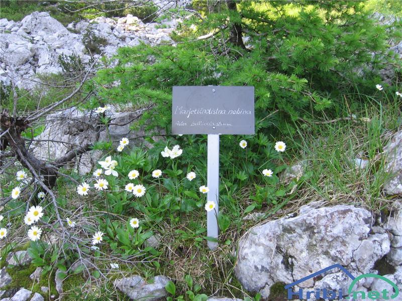 Marjetičasta nebina (Aster bellidiastrum) - SlikaMarjetičasta nebina (Aster bellidiastrum)