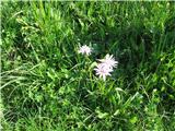 Katera rožca je to?Rožnatega gadjaka je tudi polno ob poti na travničku pred kočo na Črni prsti in tudi okoli Oražmove koče na planini pod Liscem