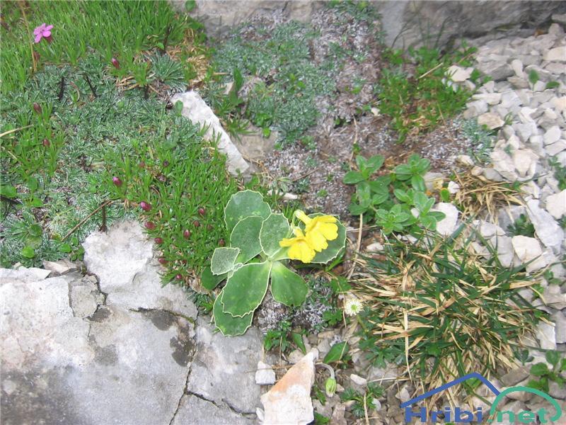 Lepi jeglič ali avrikelj (Primula auricula) - SlikaLepi jeglič ali avrikelj (Primula auricula)