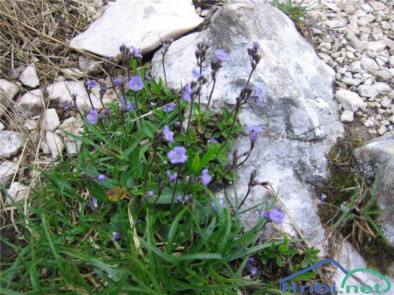 Golostebelni ali brezlistni jetičnik (Veronica aphylla) - PictureGolostebelni ali brezlistni jetičnik (Veronica aphylla)