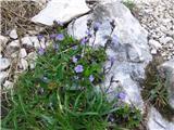 Katera rožca je to?Tale lepi modri drobižek raste kar na potki nad kočo. To je brezlistni jetičnik.
