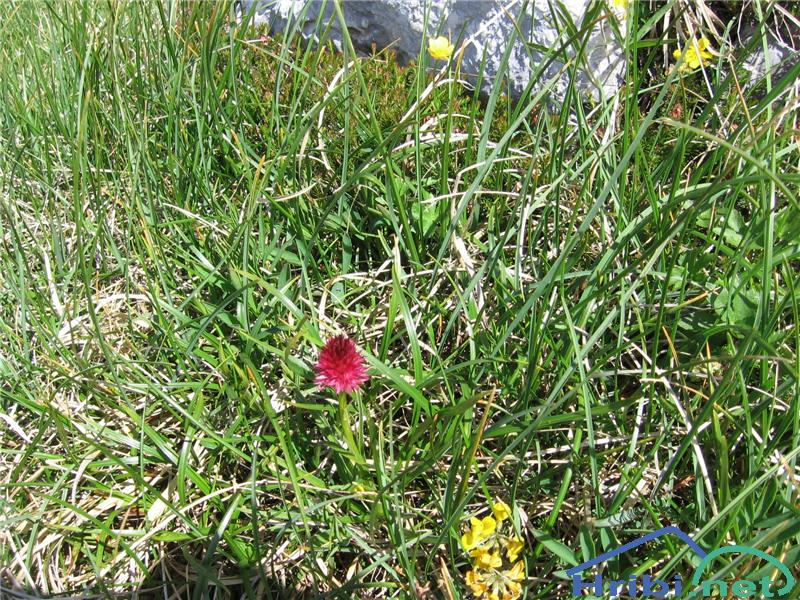 Rdeča murka (Nigritella rubra) - SlikaRdeča murka (Nigritella rubra)