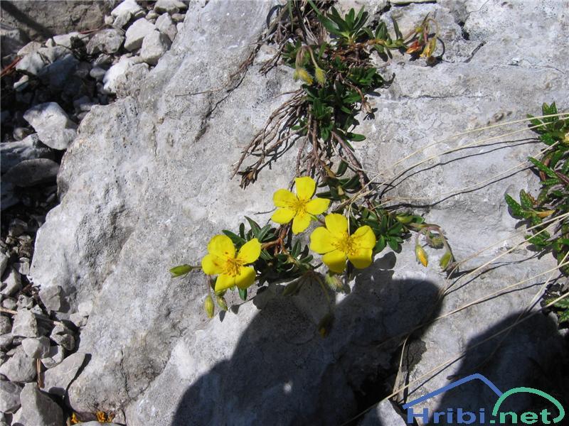 Planinski popon ali planinsko sončece (Helianthemum alpestre) - PicturePlaninski popon ali planinsko sončece (Helianthemum alpestre)