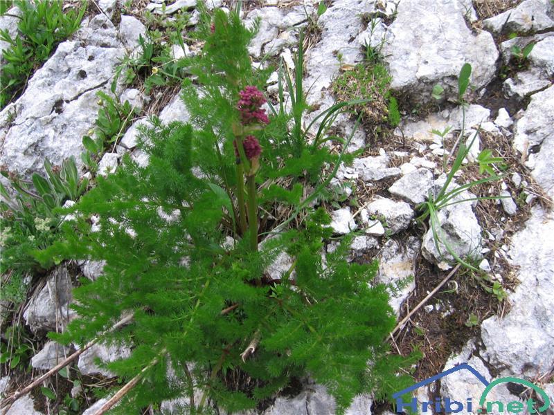 Planinska velestika (Ligusticum mutellina) - SlikaPlaninska velestika (Ligusticum mutellina)