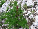 Ligusticum mutellina