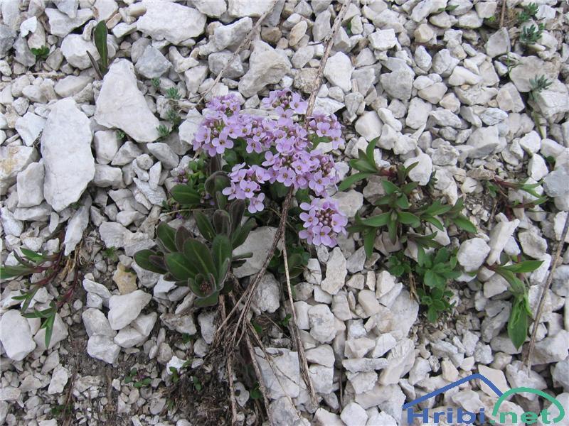 Okroglolistni mošnjak (Thlaspi cepaeifolium) - SlikaOkroglolistni mošnjak (Thlaspi cepaeifolium)