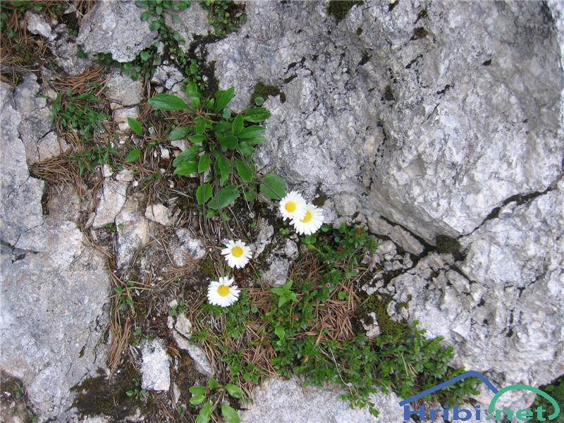 Marjetičasta nebina (Aster bellidiastrum) - PictureMarjetičasta nebina (Aster bellidiastrum)