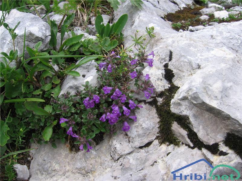 Alpski šetrajnik ali alpski čober (Calamantha alpina) - PictureAlpski šetrajnik ali alpski čober (Calamantha alpina)