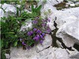 Alpski šetrajnik ali alpski čober (Calamantha alpina)