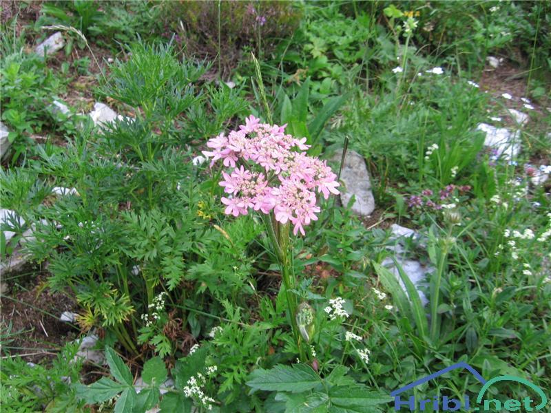 Rožnordeči ali avstrijski dežen (Heracleum austriacum subsp. siifolium) - SlikaRožnordeči dežen (Heracleum austriacum subsp. siifolium)