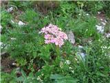 Heracleum austriacum subsp. siifolium