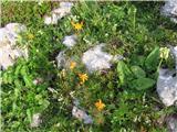 Abraščevolistni ali ozkorogljati grint (Senecio abrotanifolius)