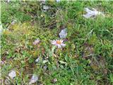 Alpska nebina (Aster alpinus)