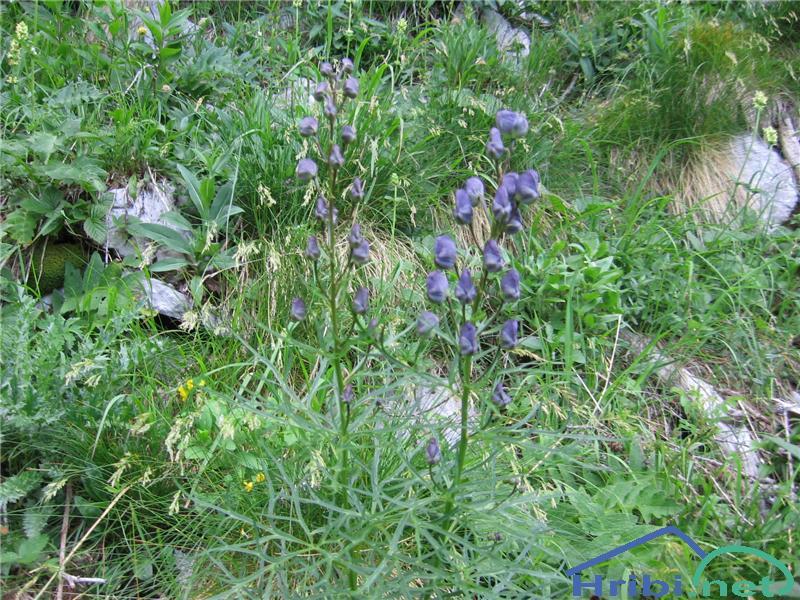 Ozkolistna preobjeda (Aconitum angustifolium) - SlikaOzkolistna preobjeda (Aconitum angustifolium)